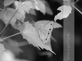 blackandwhite butterfly nature photography