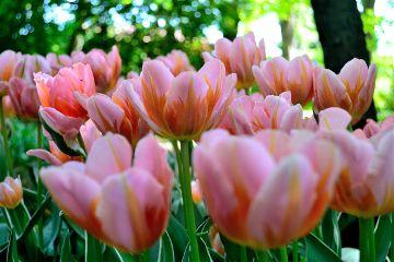 flower tulip parc italy