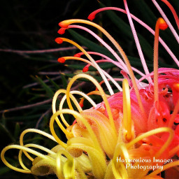 gravillea australiannative flower colorful