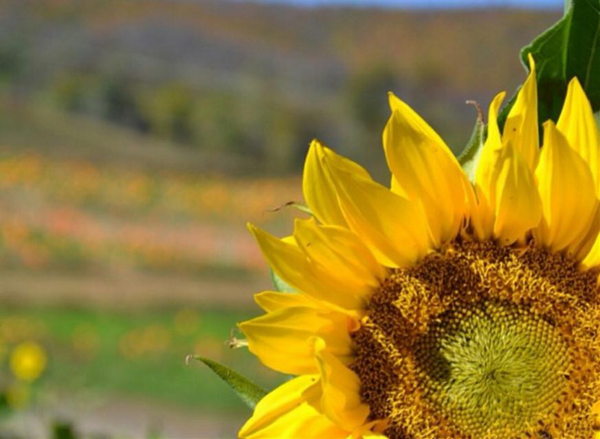 summery sunflower