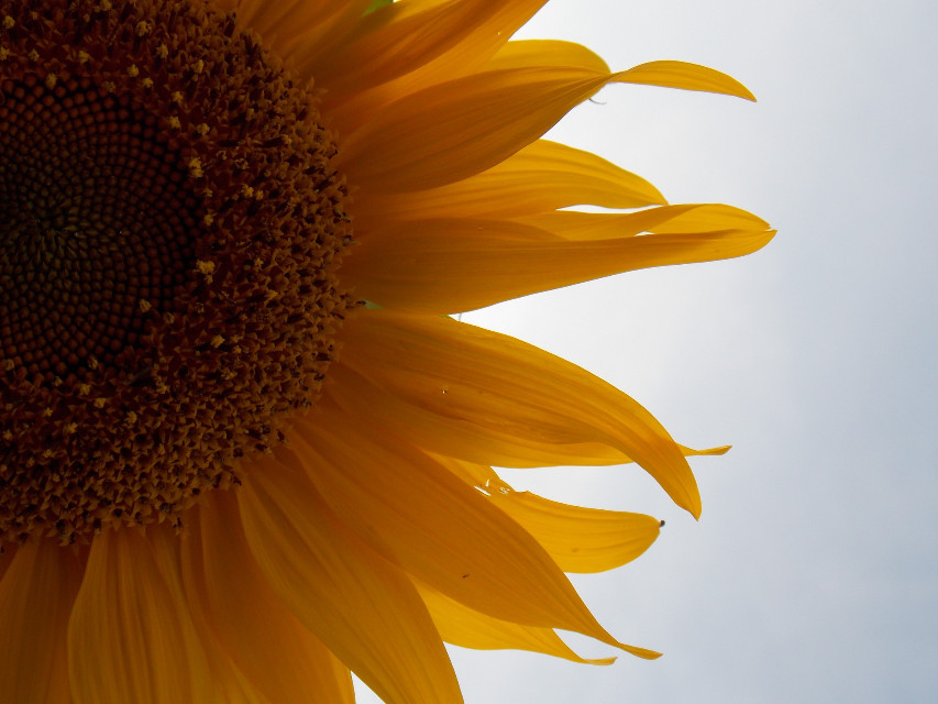 Good evening 🙋 No edit sunflower .